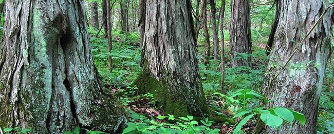 hickories